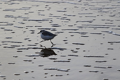 Sandpiper - p417m1538011 by Pat Meise