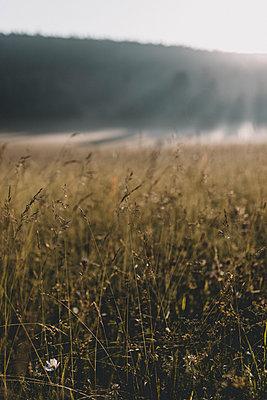 Blume auf Wiese bei Sonnenaufgang im Sommer - p1497m1585726 von Sascha Jacoby