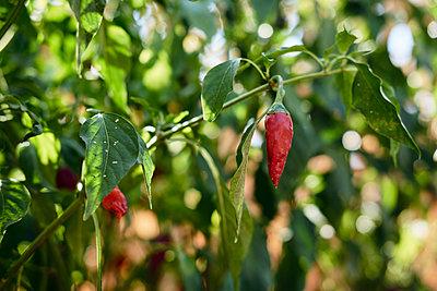 Bulgaria, red chili pod in garden - p300m2012464 by Borislav Zhuykov