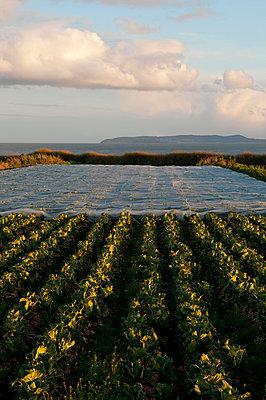 Gemüseanbau in Irland - p470m1134355 von Ingrid Michel