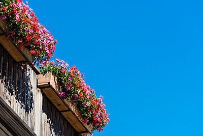 Balkonpflanzen - p488m1200570 von Bias
