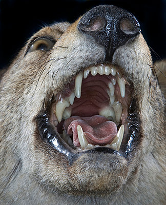 wolf face   - p5673458 by Jesse Untracht-Oakner
