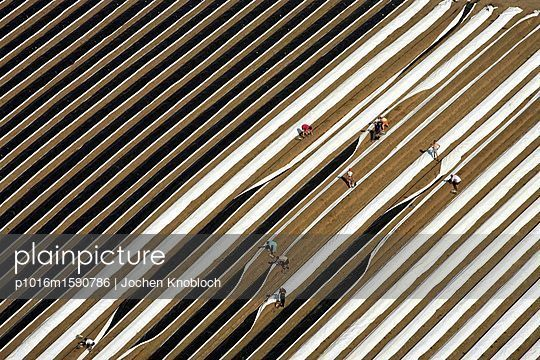 Spargelernte - p1016m1590786 von Jochen Knobloch