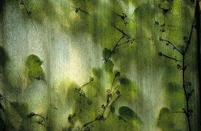 Efeu hinter Wellblech - p2370700 von Thordis Rüggeberg