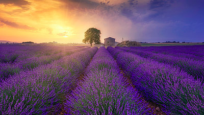 France, Alpes-de-Haute-Provence, Valensole, lavender field at twilight - p300m2023750 by Raul Podadera Sanz