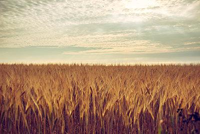 Cornfield at twilight - p879m2044700 by nico
