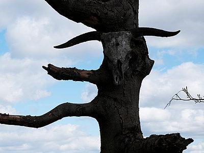 Abgestorbener Baum und Rinderschädel - p240m1468122 von Valerie Wagner