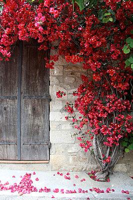 Blühender Strauch neben einer Tür - p277m729234 von Dieter Reichelt