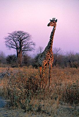 Giraffe - p6510766 by Paul Joynson Hicks photography