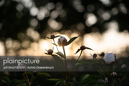 Field with peonies - p310m2192374 by Astrid Doerenbruch