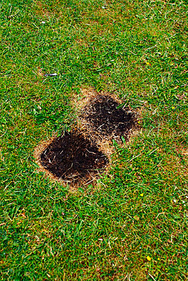 Two burnt patches on grass from barbecues - p5970215 by Tim Robinson