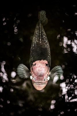 Raubfisch lauert im dunklen Wasser - p966m822039 von Tobias Leipnitz