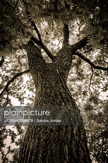 Old tree - p1256m2098978 by Sandra Jordan