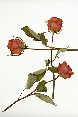Three dried roses - p971m1171755 by Reilika Landen