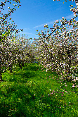 Apple trees   - p2481258 by BY