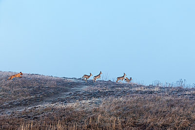 Hound hunting herd of deer - p739m1119397 by Baertels
