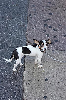 Gescheckter Chihuahua - p097m705163 von K. Krebs