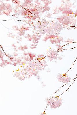 Cherry blossoms - p570m2076973 by Elke Röbken