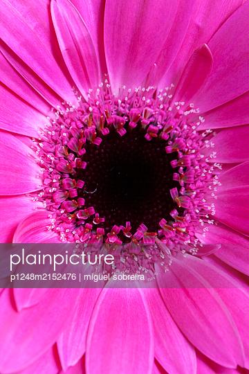 Pink coloured Gerbera - p1248m2152476 by miguel sobreira