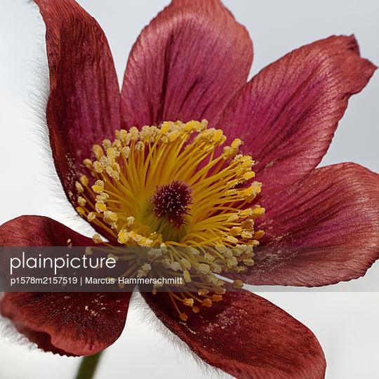 Blumenpelz - p1578m2157519 von Marcus Hammerschmitt