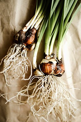 Daffodil bulbs with roots on the table and ready for planting - p1166m2106380 by Cavan Images
