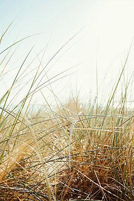 Dünengras im Sonnenlicht - p946m851040 von Maren Becker