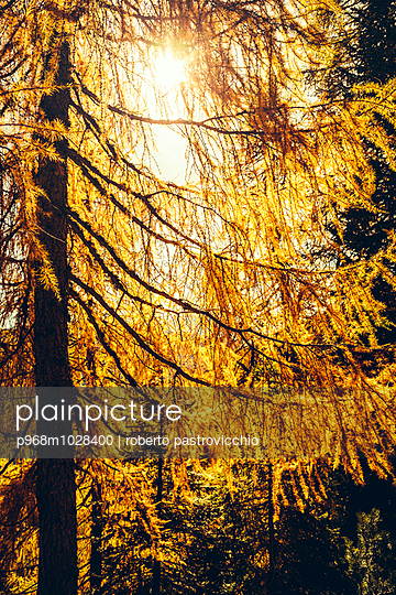 Yellow Larch trees on Autumn day - p968m1028400 by Roberto Pastrovicchio