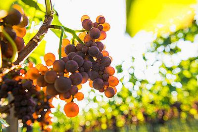 Red grapes on a vine, backlight, near Freiburg im Breisgau, Baden-Wuerttemberg, Germany - p1316m1422598 by Daniel Schoenen