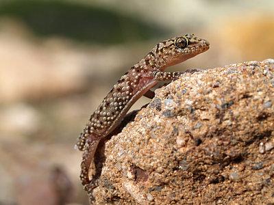 Europäischer Halbfinger Gecko, hemidactylus turcicus - p1463m2231015 von Wolfgang Simlinger