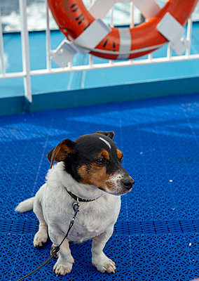 Smudge the Jack Russell on the Ferry to Bilbao - p1560m2164370 by Alison Morton