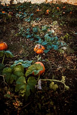 Pumpkins - p1628m2217613 by Lorraine Fitch