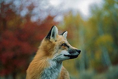 Red fox (Vulpes vulpes) - p44210206f by Design Pics