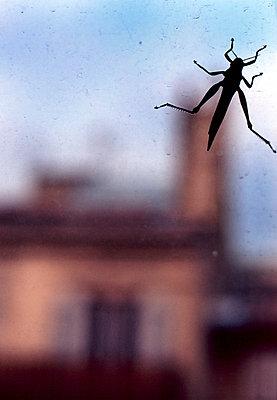Cricket on a window - p6820026 by Loeiza Jacq