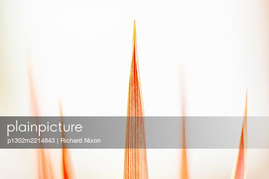 Tips of the leaves of an orange cordyline plant - p1302m2214843 by Richard Nixon