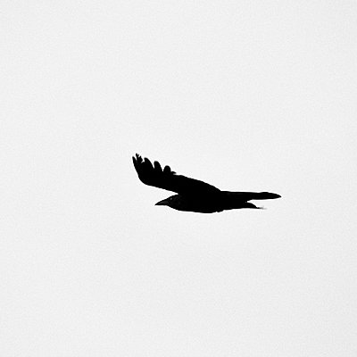 Single crow on the wing - p1203m1582521 by Bernd Schumacher