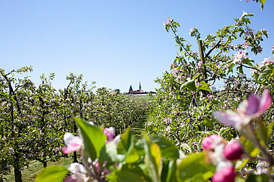 Apple blossom in the countryside - p304m1221974 by R. Wolf