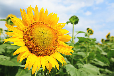 Sunflower - p307m1125585f by Rodrigo Reyes Marin