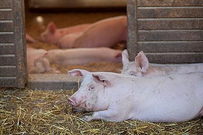 Zufriedene Schweine - p505m903899 von Iris Wolf