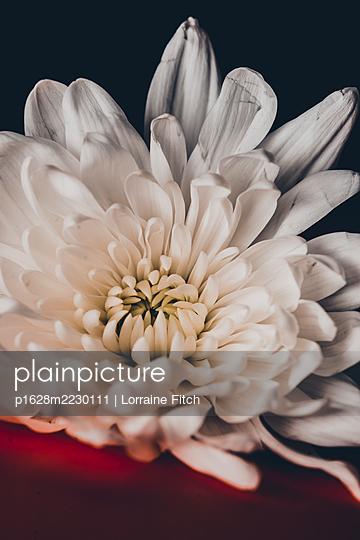 White flower - p1628m2230111 by Lorraine Fitch