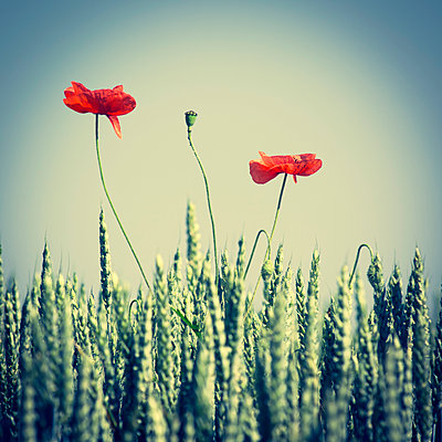 Poppy flower in a wheat field. Auvergne. France - p813m1461150 by B.Jaubert