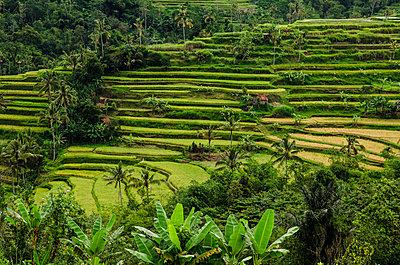 Reisfelder auf Bali - p999m949663 von Monika Kluza