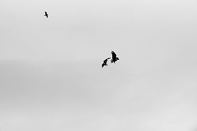 Alaska, Young bald eagles in flight - p1455m2204758 by Ingmar Wein