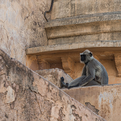 Single macaque in a temple in Jaipur - p1624m2223723 by Gabriela Torres Ruiz