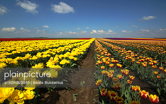 Tulpenfeld im Frühling - p162m925849 von Beate Bussenius