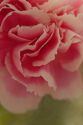 Close-up of one pink carnation - p1047m1109670 by Sally Mundy