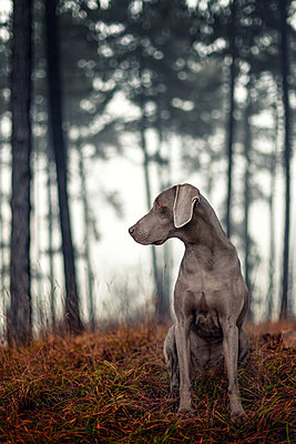 Weimaraner hunting dog in the woods - p1168m2026599 by Thomas Günther