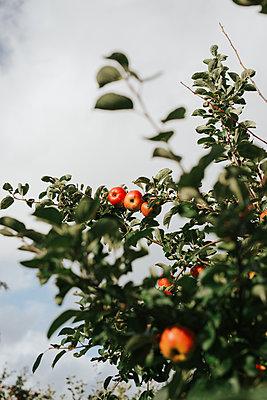 Apfelbaum im Herbst - p1507m2217345 von Emma Grann