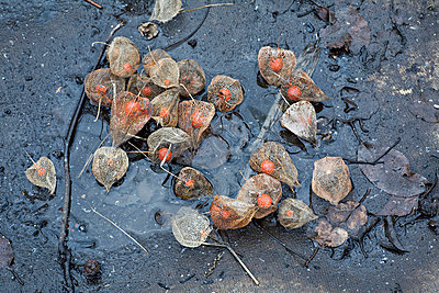Physalis fruit on the ground in a puddle - p301m714452f by Vladimir Godnik
