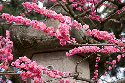 Cherry blossoms; kyoto city kyoto japan - p442m700197f by Philippe Widling
