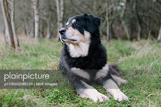A mixed breed dog with a black coat with white patches, a therapy dog, lying on the grass outdoors.  - p1100m2085100 by Mint Images